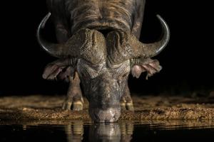 Afrikansk buffel dricker vatten