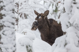 Älghona i snö