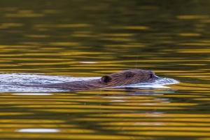 Simmande Bäver