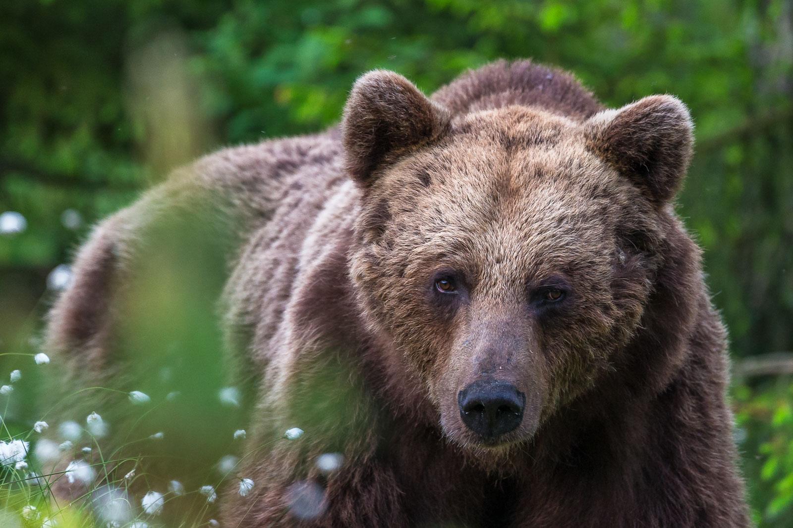 Närbild på björn