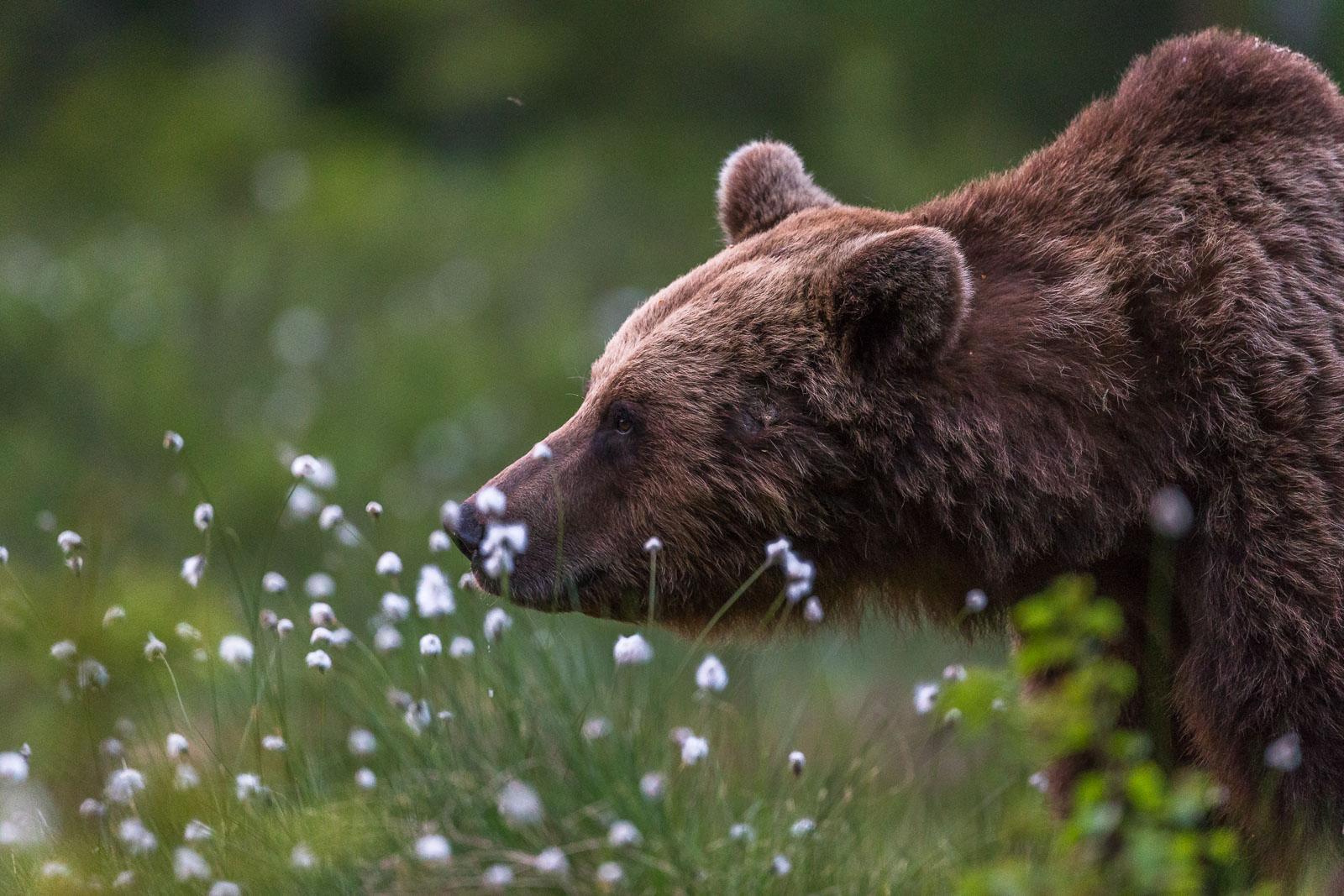 Björnen doftar på omgivningen