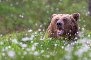 Gapande björn