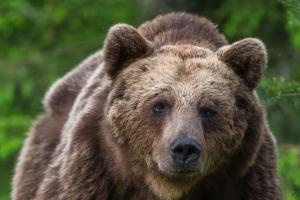 Närkontakt med björn