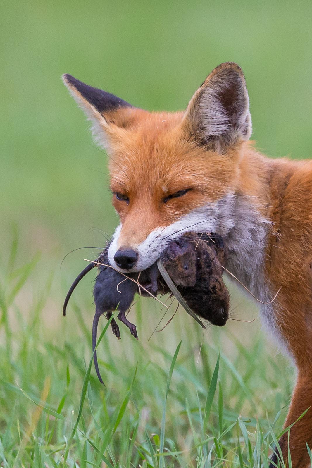 Rödräv med sork i munnen