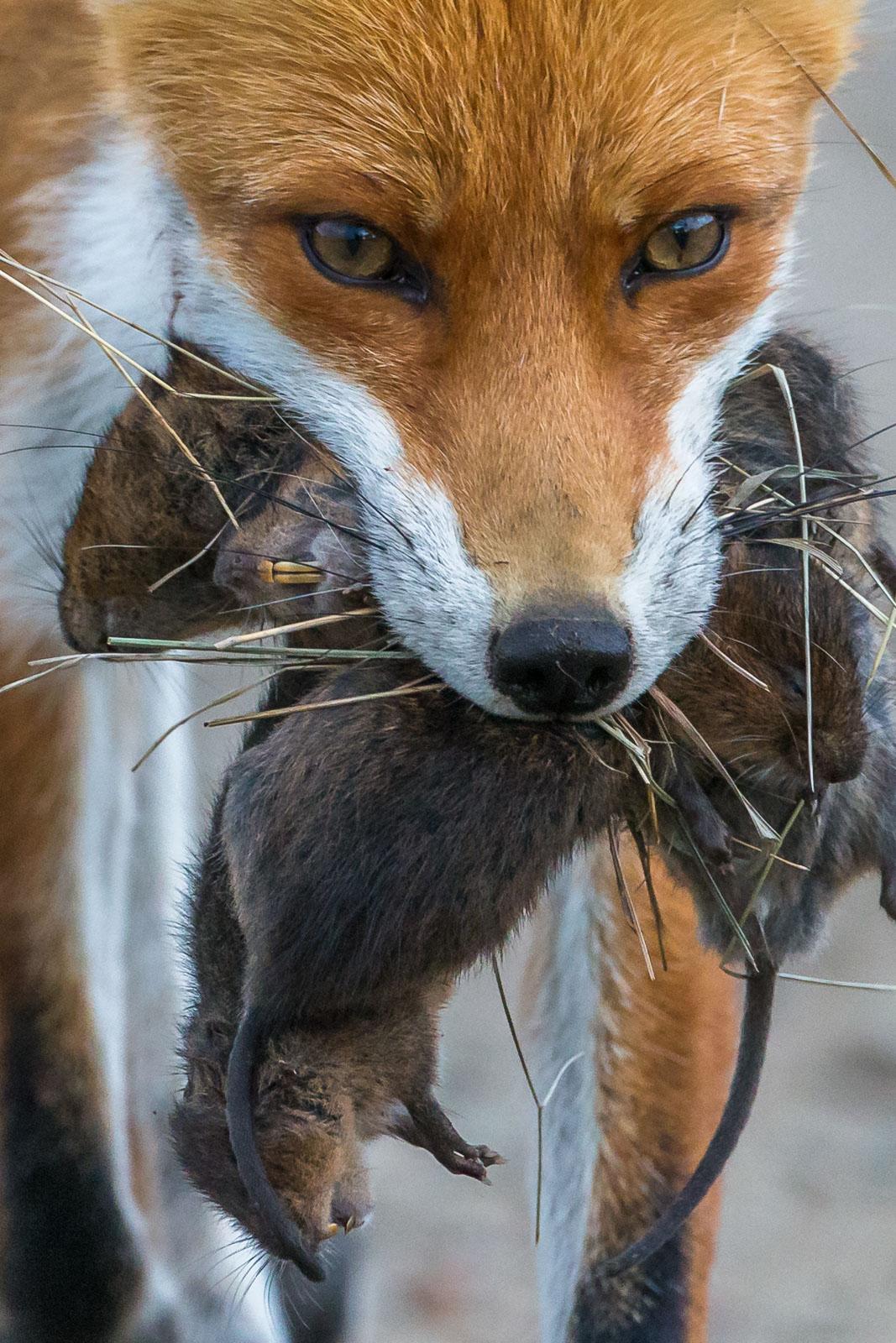 Närbild på räv med munnen full av sork