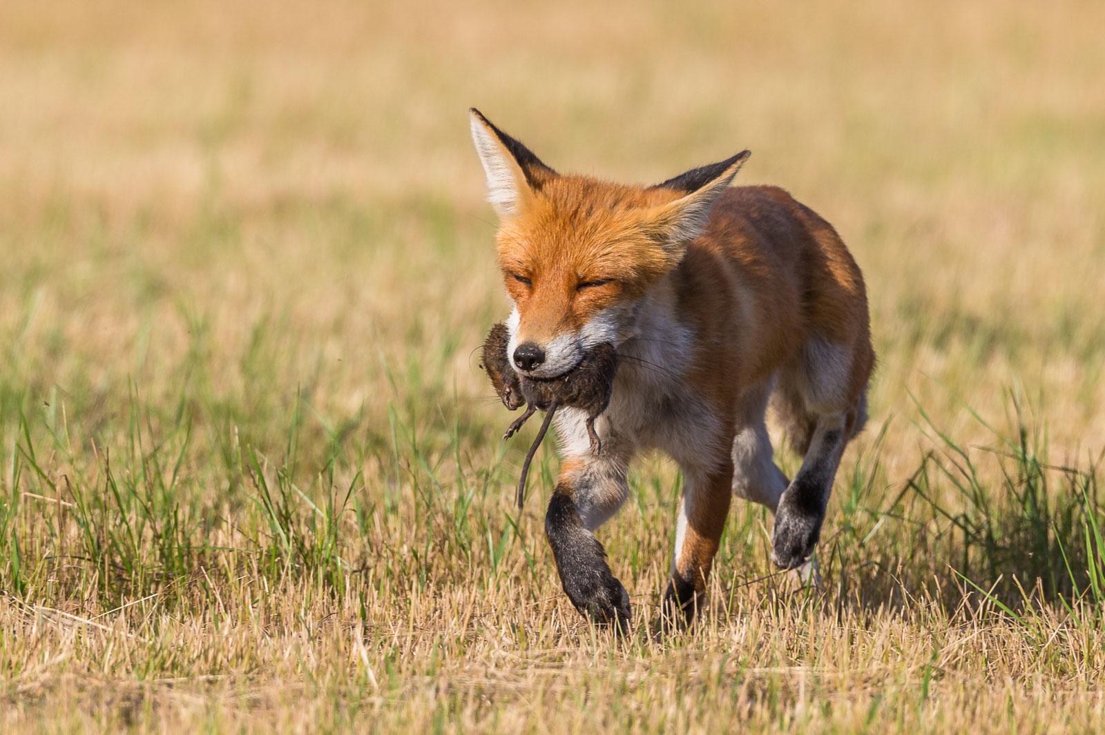 Kisande räv med sork i munnen