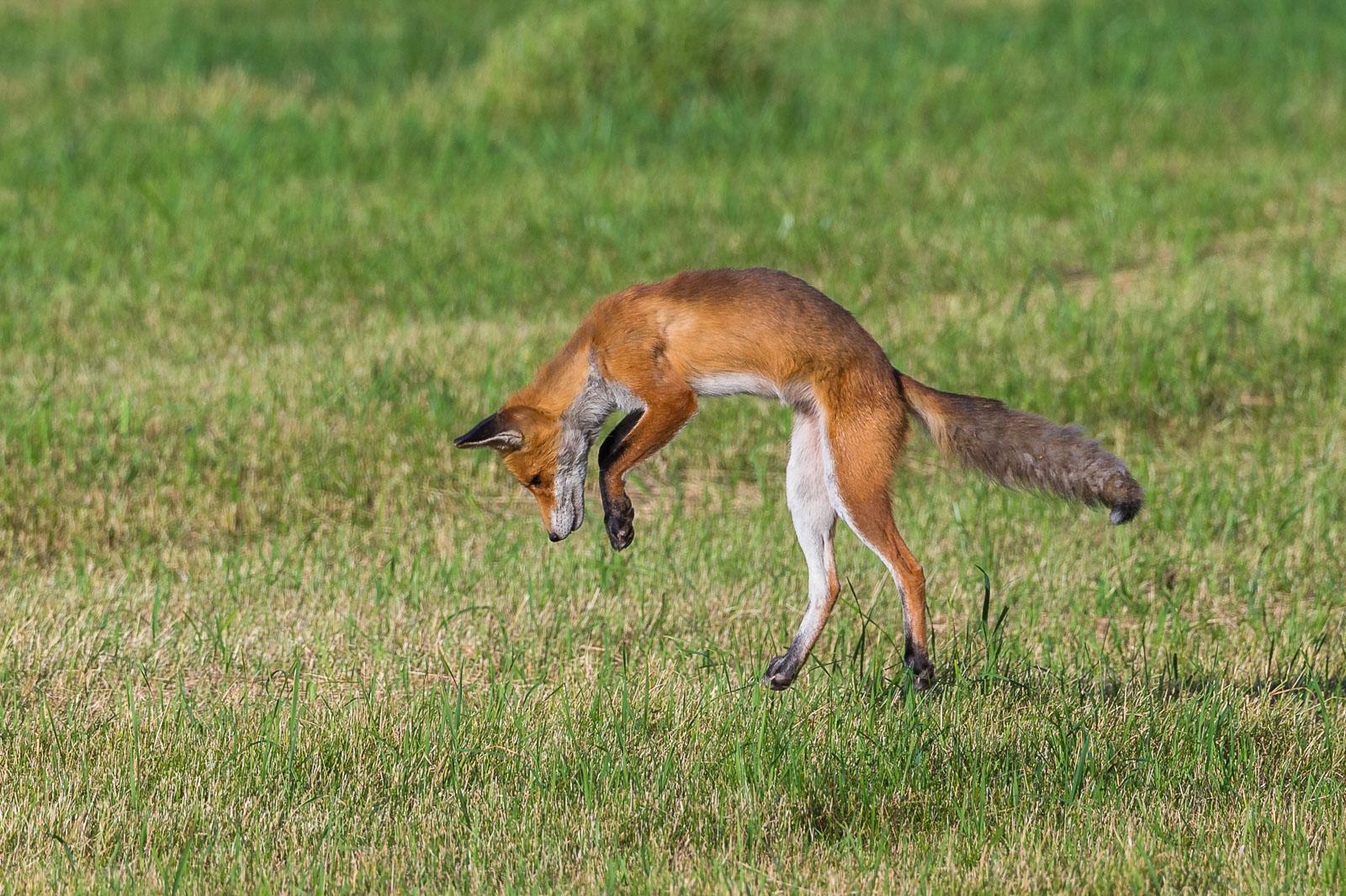 Räven hoppar 1