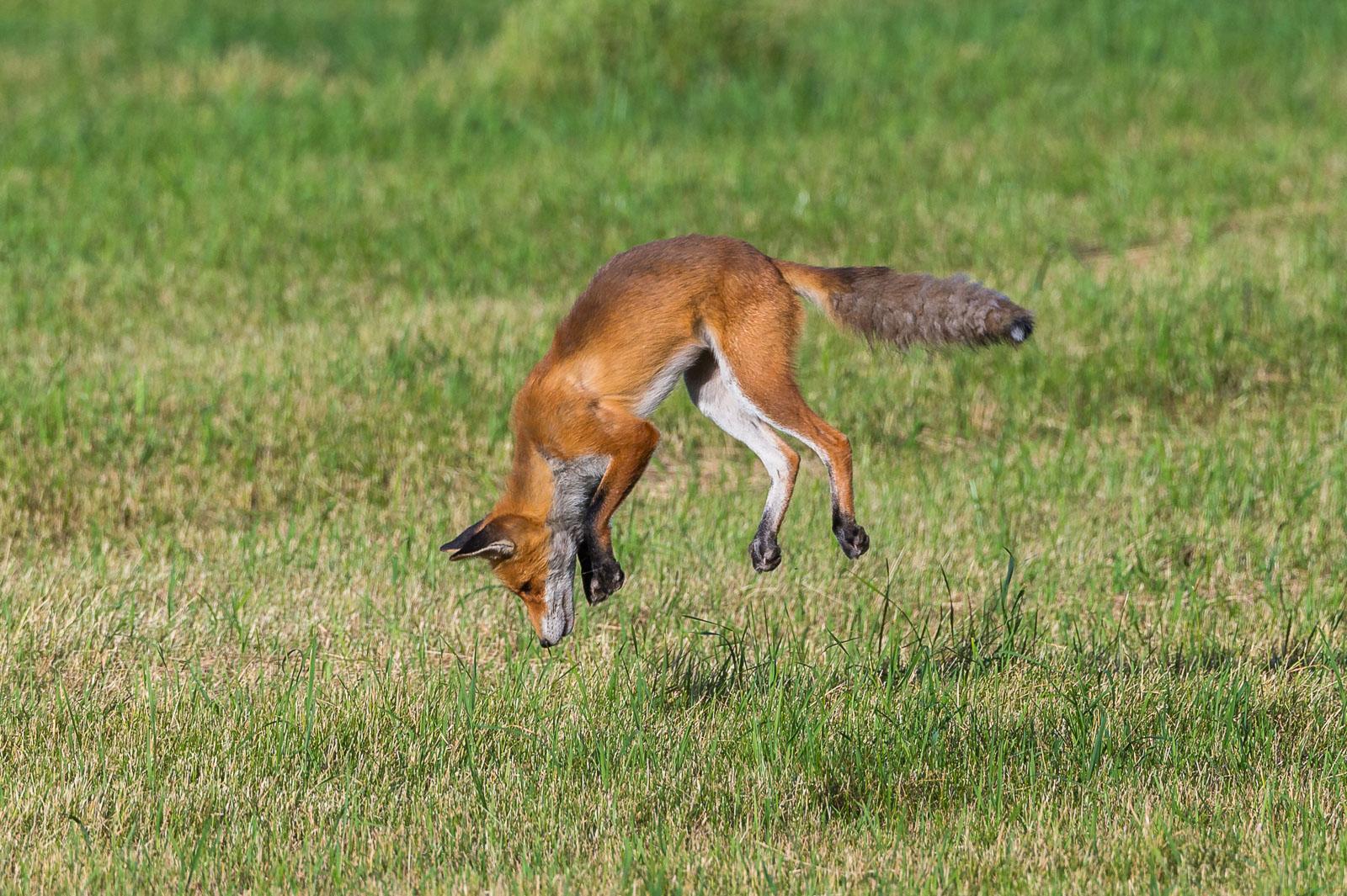 Räven hoppar 3