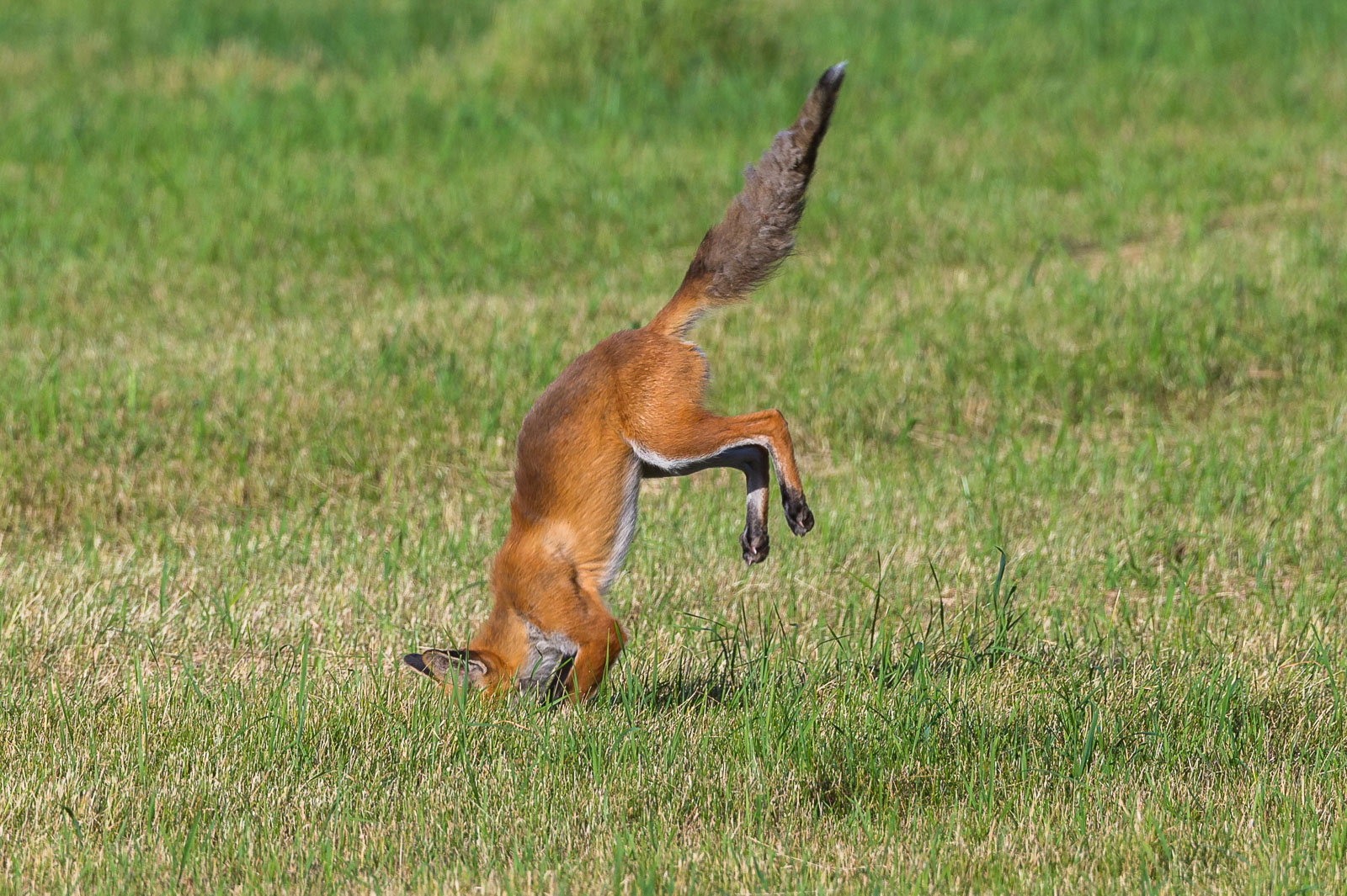 Räven hoppar 4