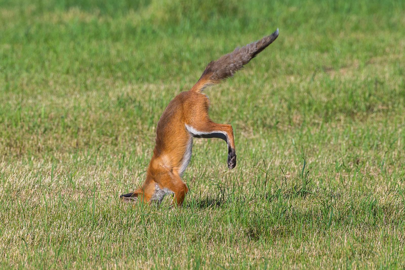 Räven hoppar 5