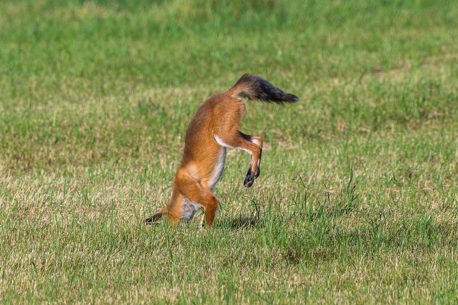 Räven hoppar 6