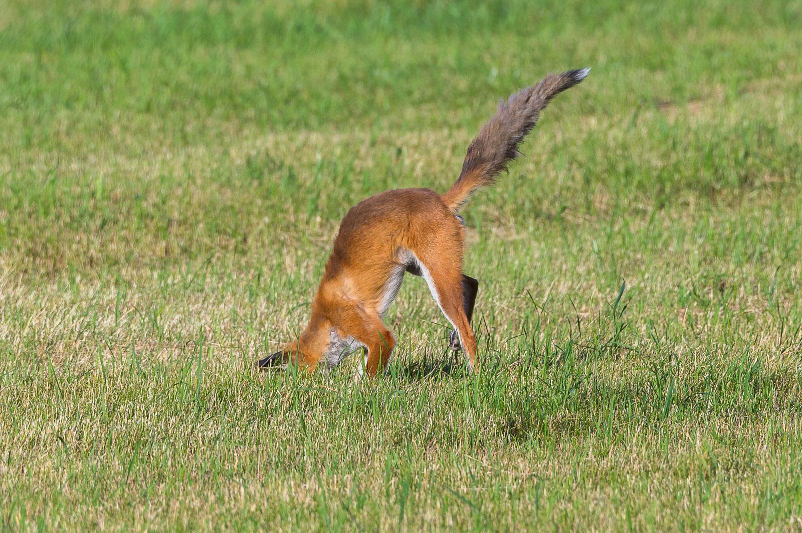Räven hoppar 8