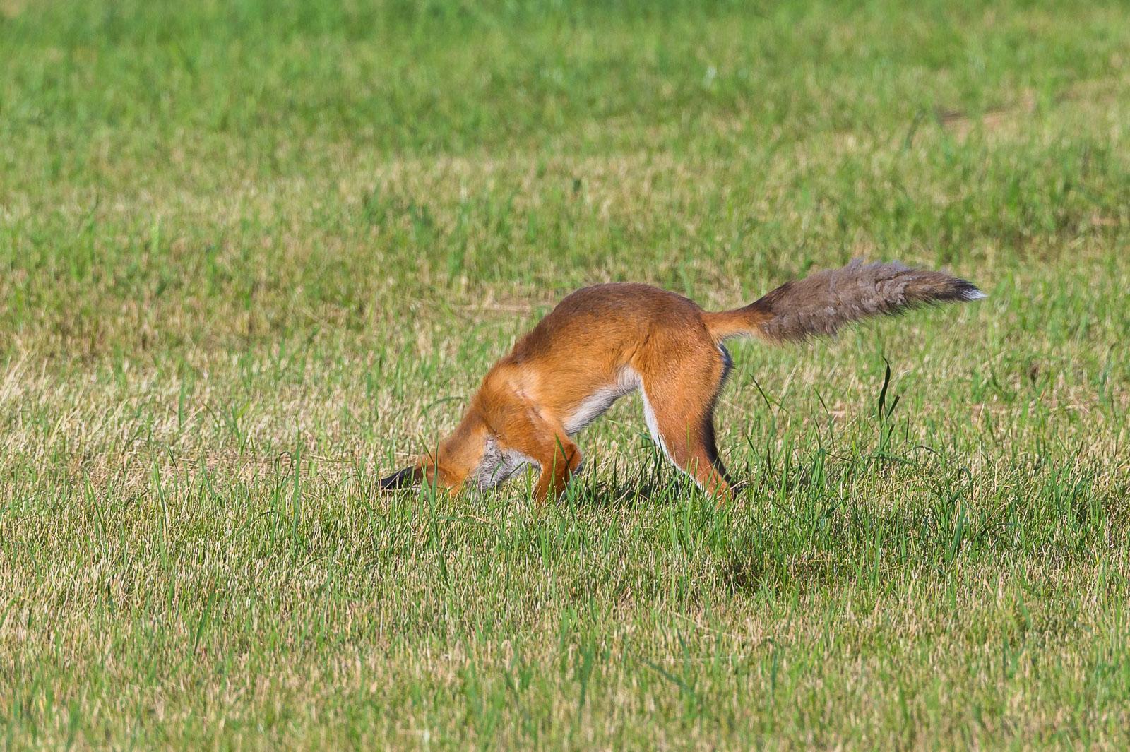 Räven hoppar 9