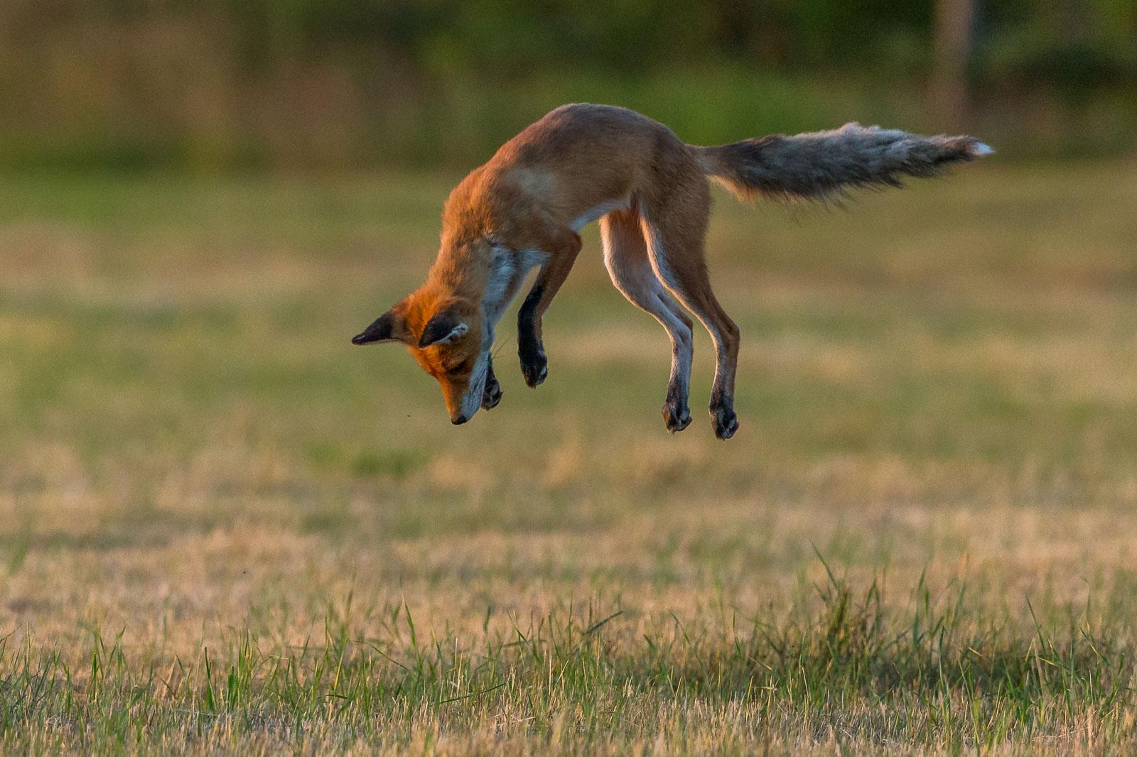Rävhona hoppar 3