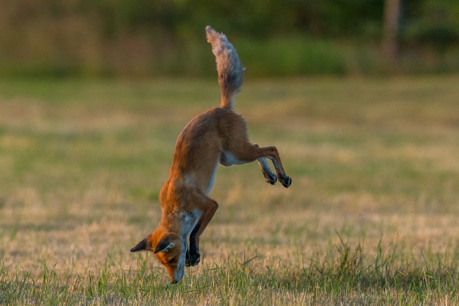 Rävhona hoppar 5
