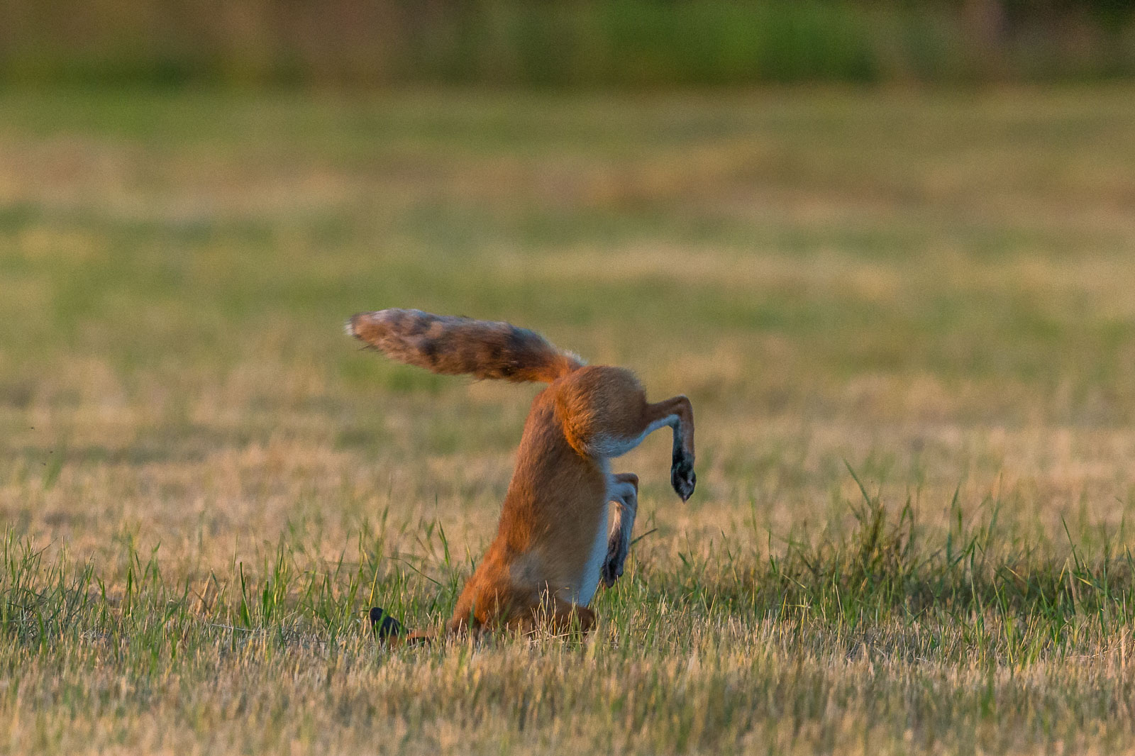Rävhona hoppar 9