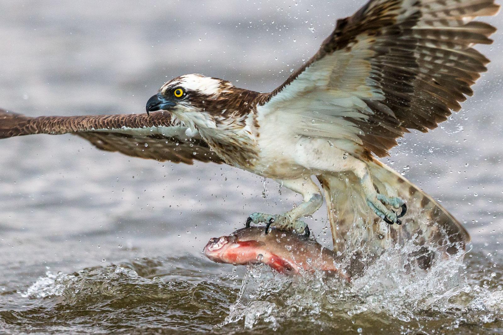 Fiskgjuse fångar fisk 1