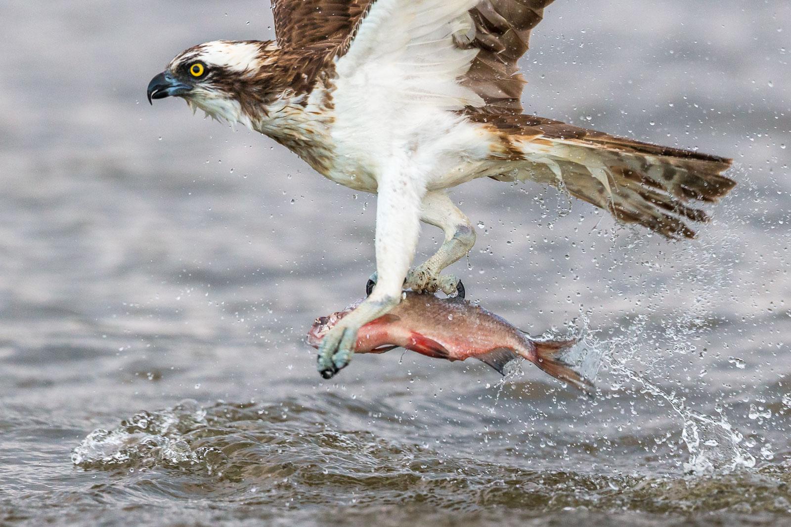 Fiskgjuse fångar fisk 4