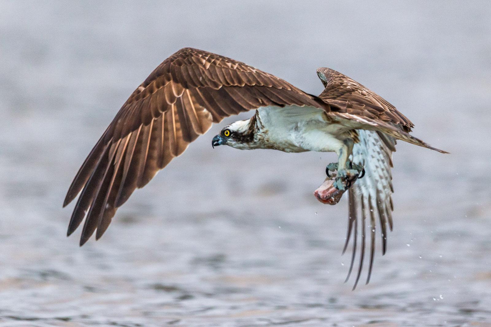 Fiskgjuse fångar fisk 6