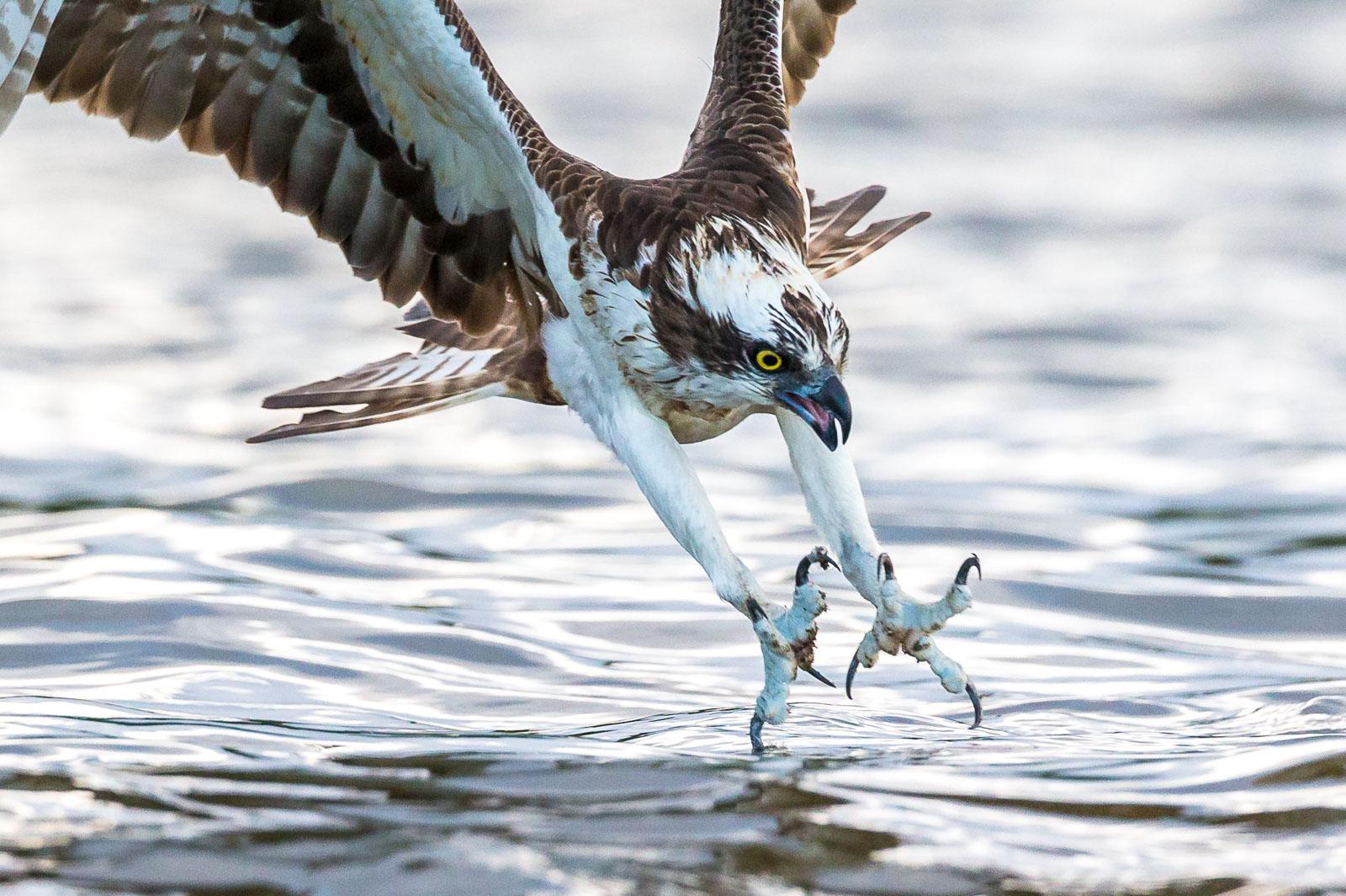 Fiskgjuse dyker