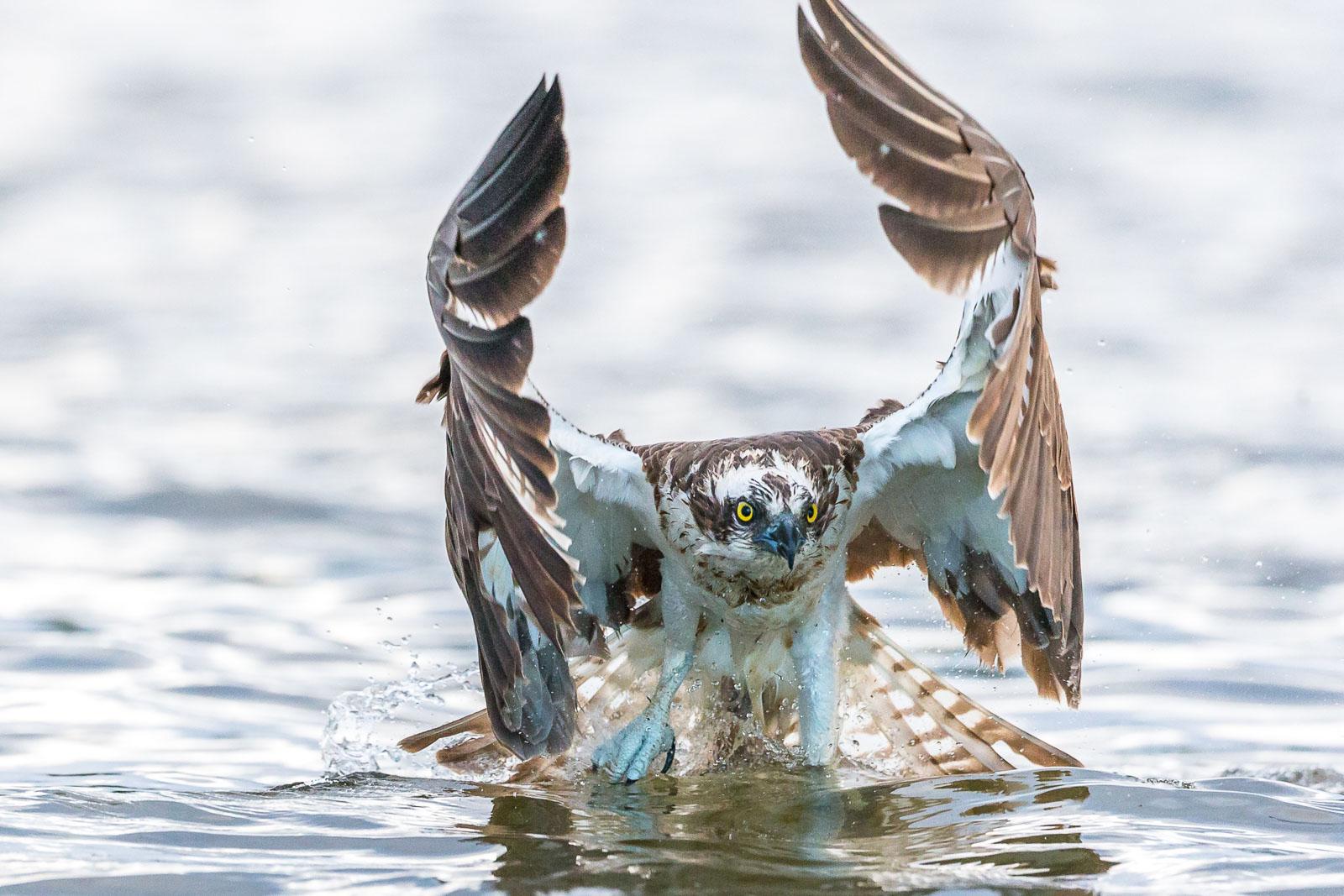 Fiskgjuse lyfter från vattnet