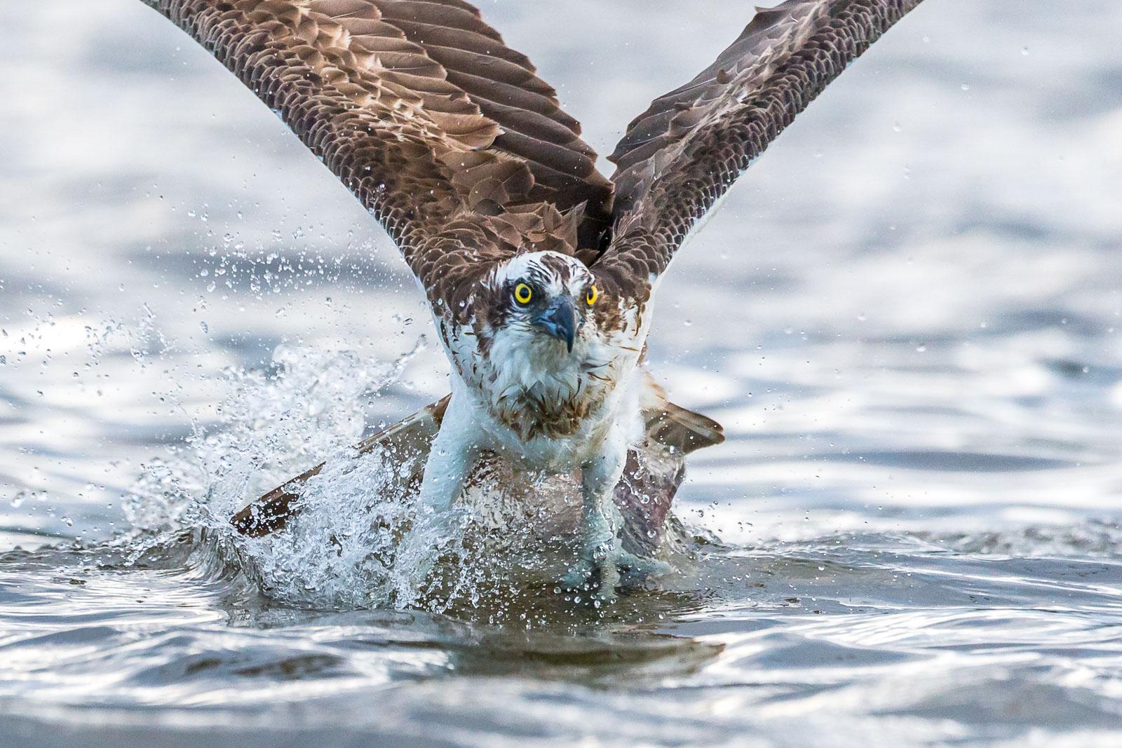 Fiskgjuse efter fångst