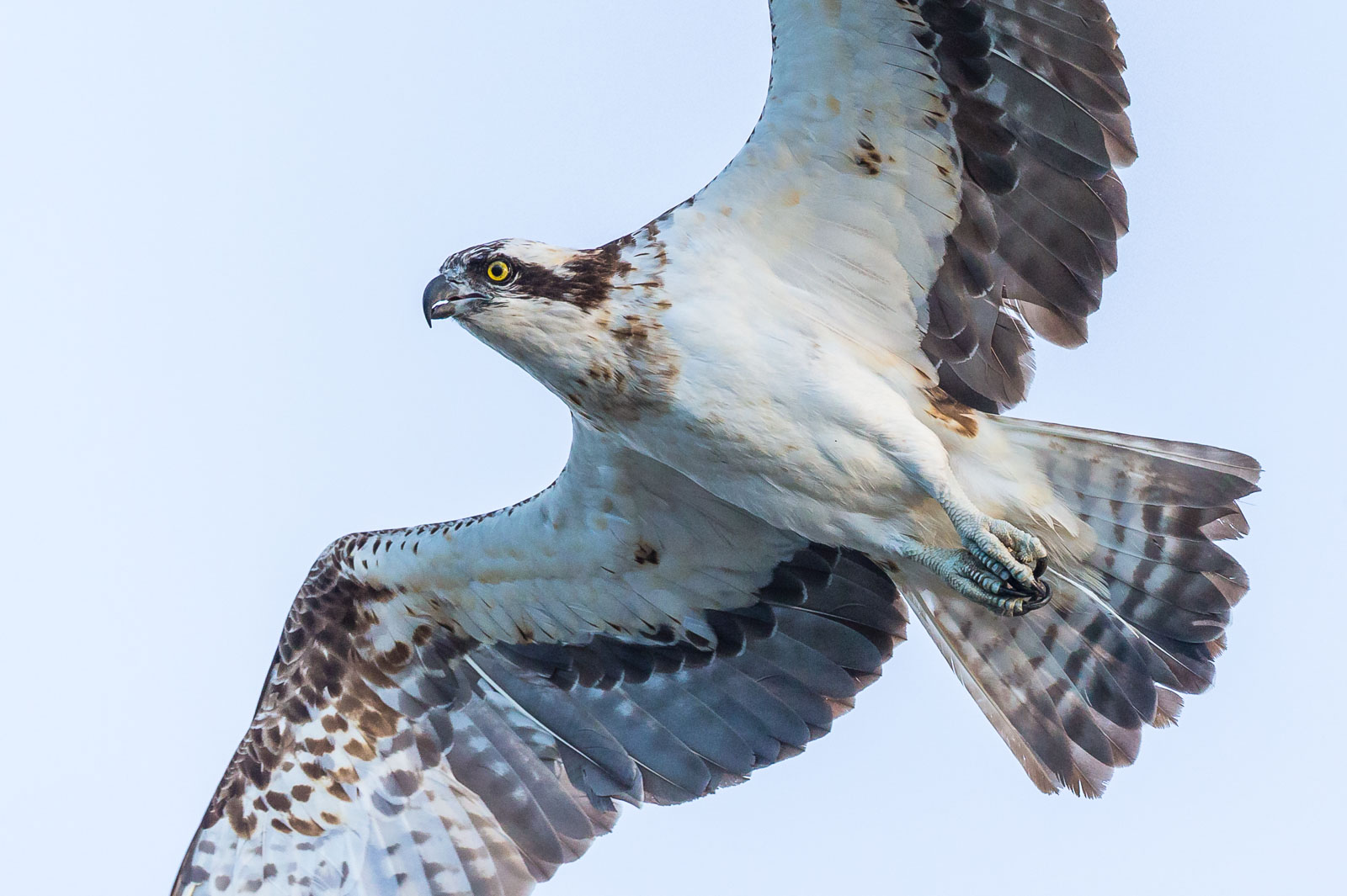 Närbild på flygande Fiskgjuse