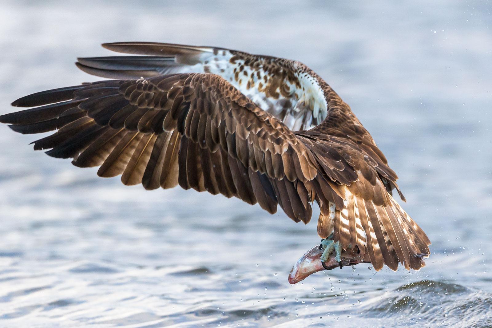 Fiskhgjuse med nyfångad fisk vill inte vara med på bild