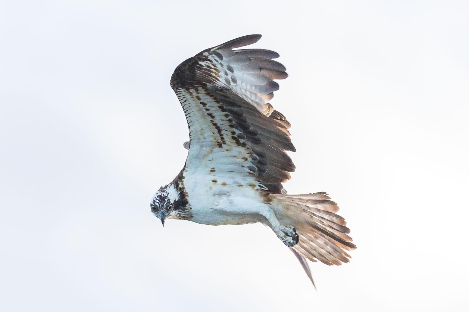 Fiskgjuse vrider huvudet i flykten