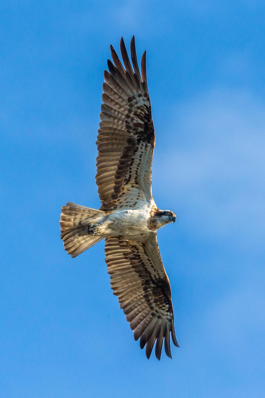Fiskgjuse spänner ut vingarna