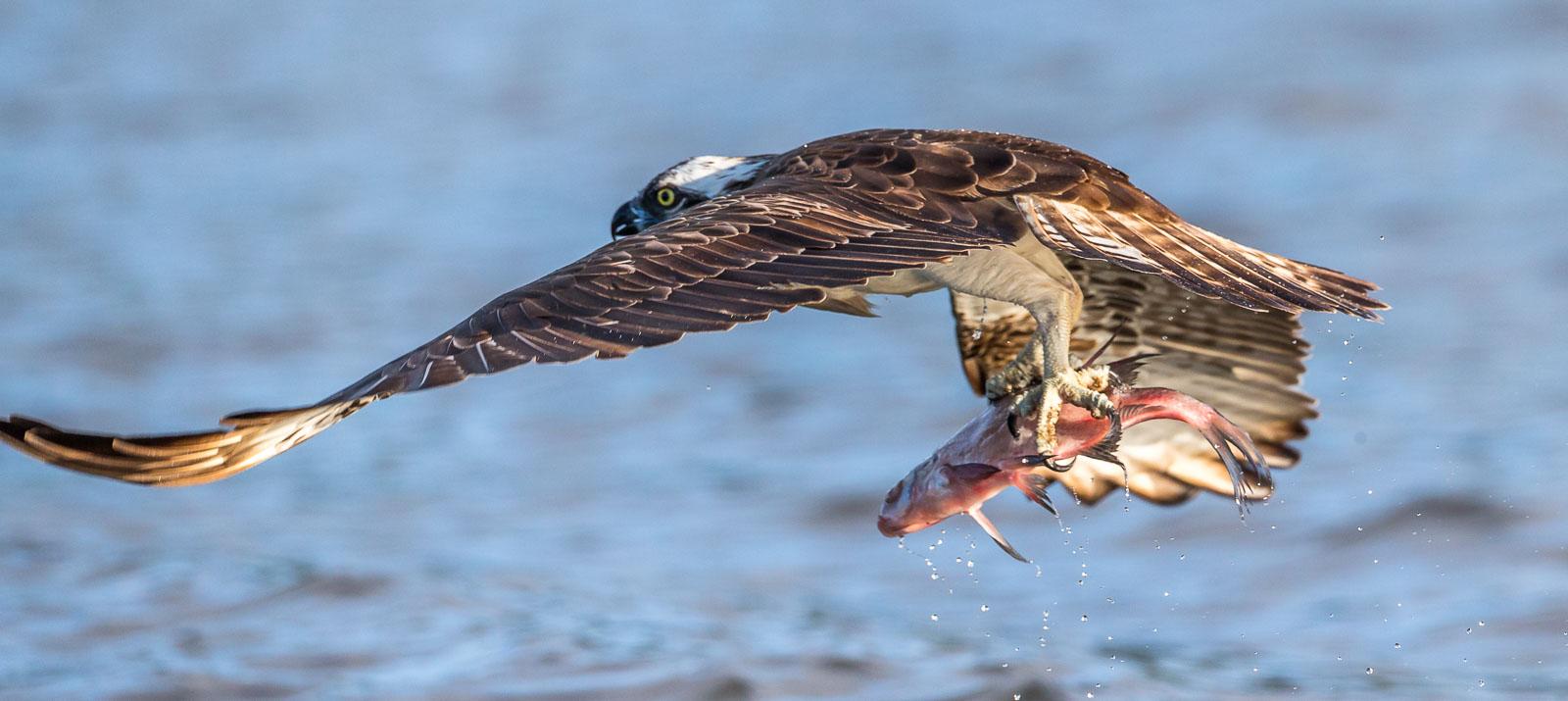 Fiskgjuse med fisk i klorna