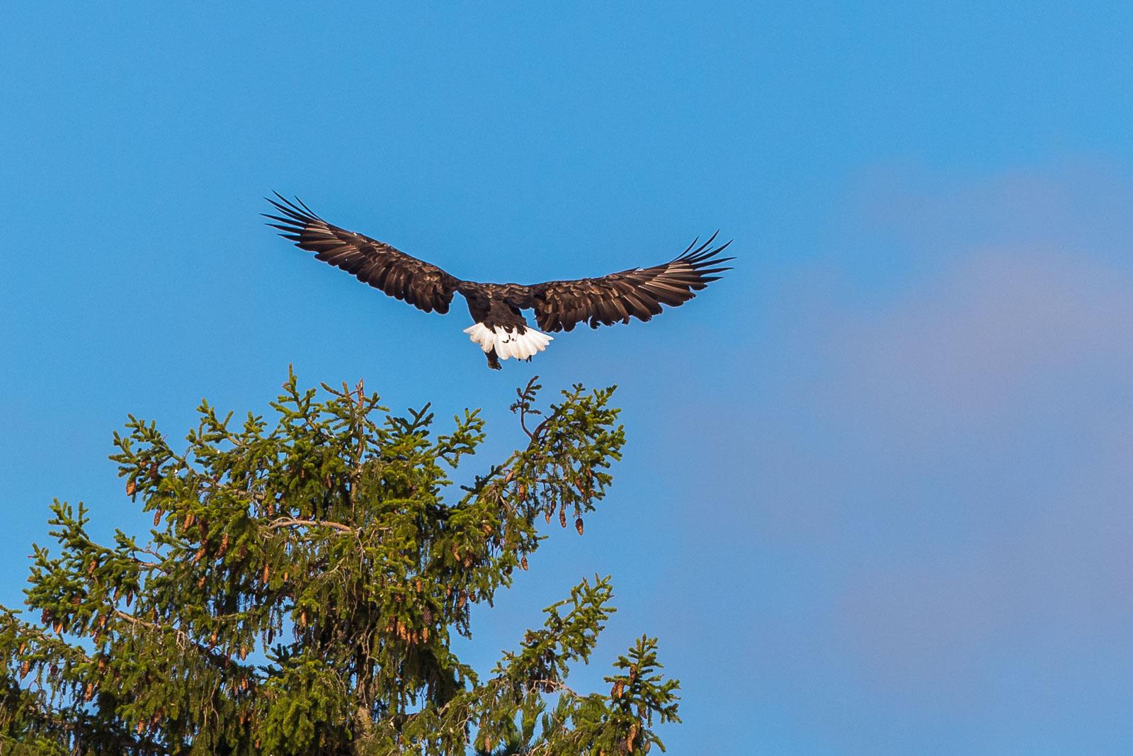 Havsörn breder ut vingarna inför landning