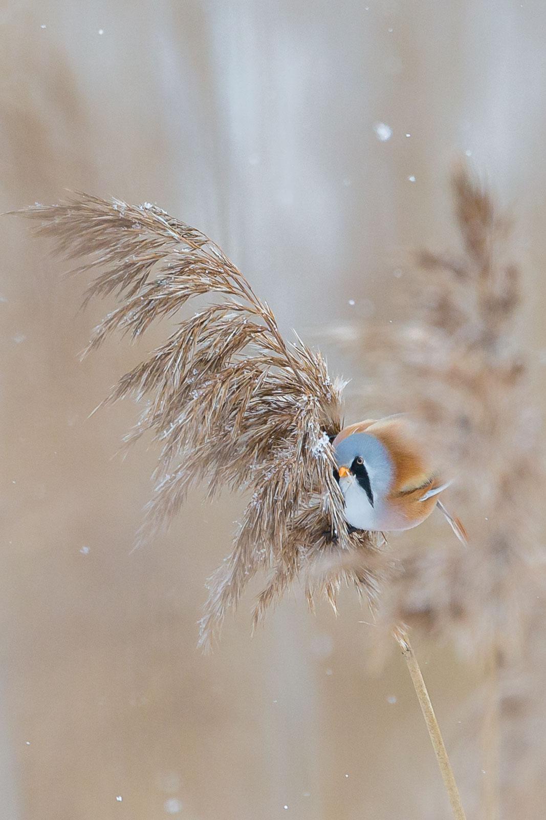 Skäggmes i snöfall