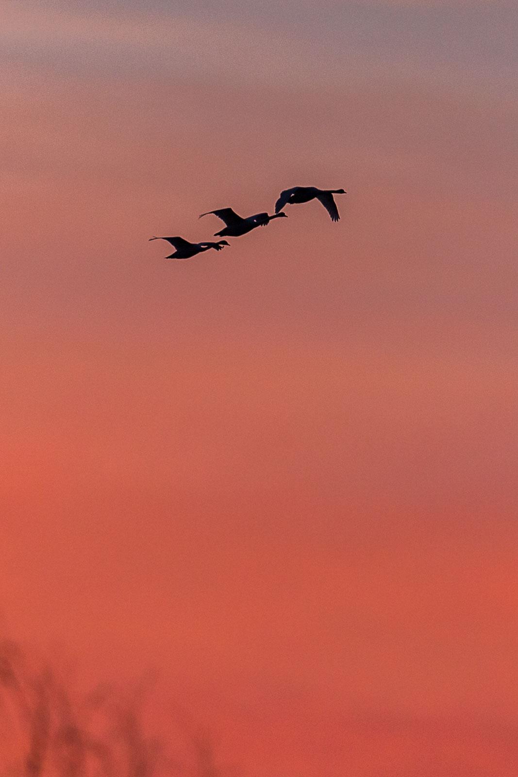 Knölsvanar i solnedgång
