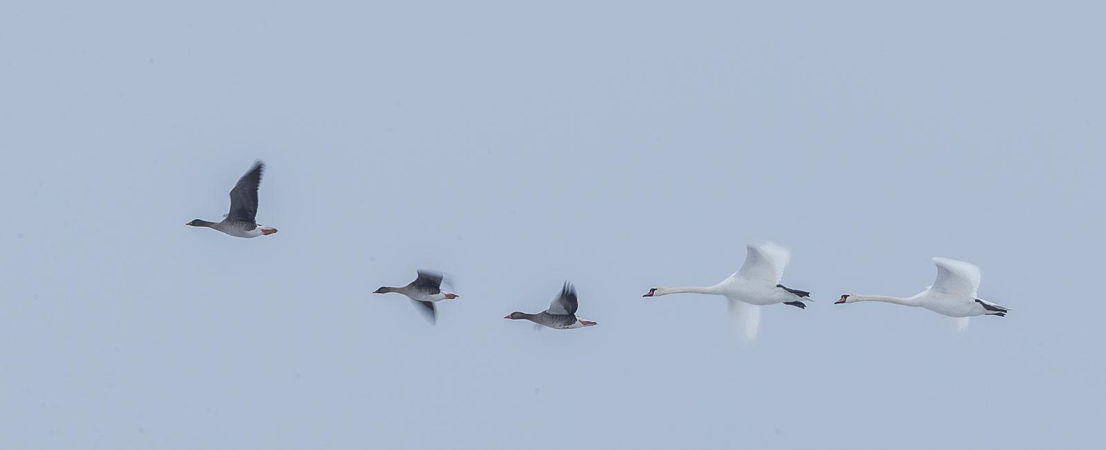 Knölsvanar och grågäss flyger i formation