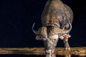 Afrikansk buffel under stjärnhimmel