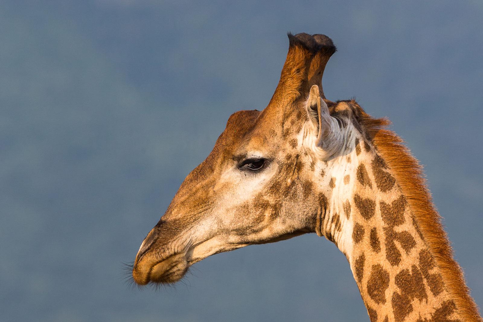 Giraffe profile 2