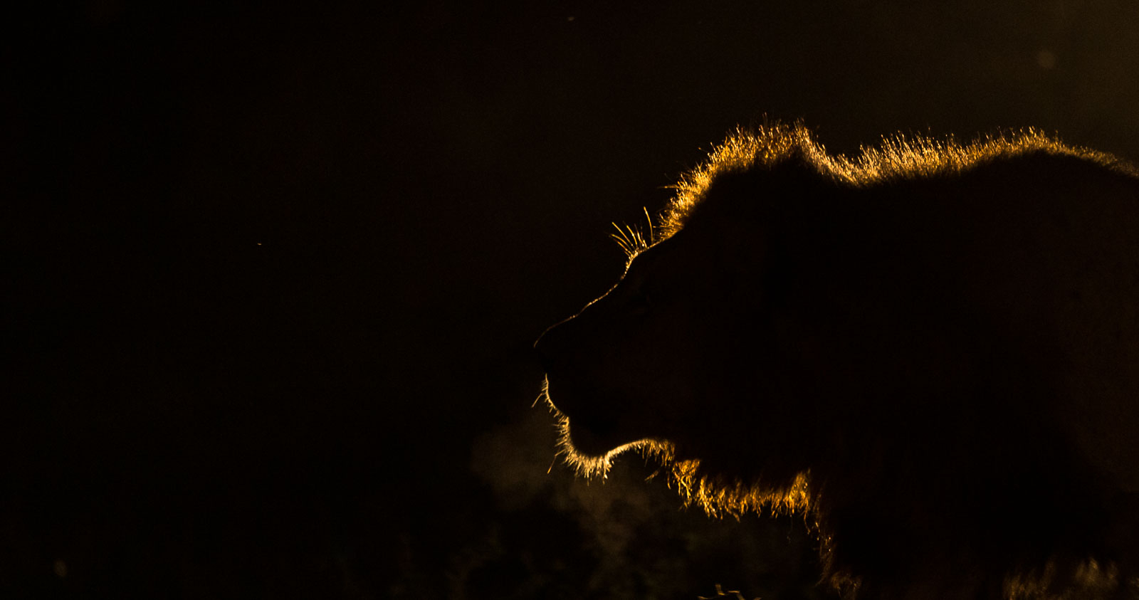 Male lion silhouette