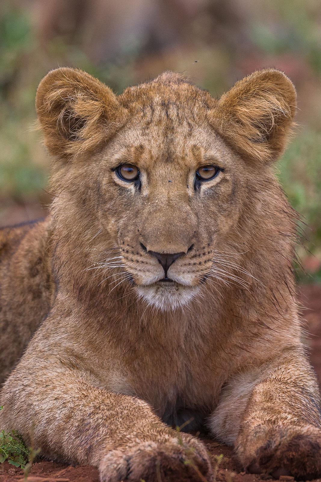 Curious Lioncub