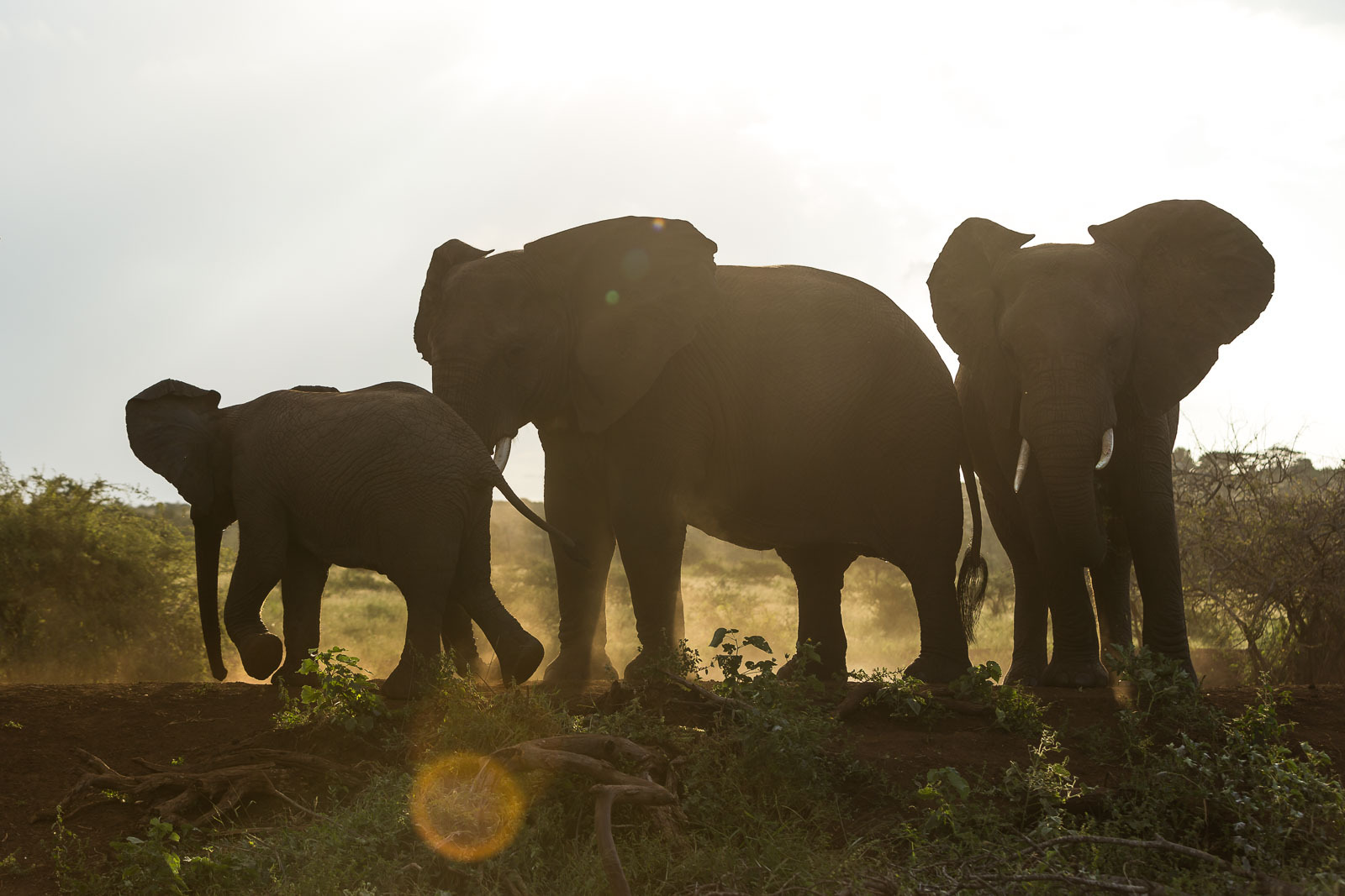 Backlit Elephants