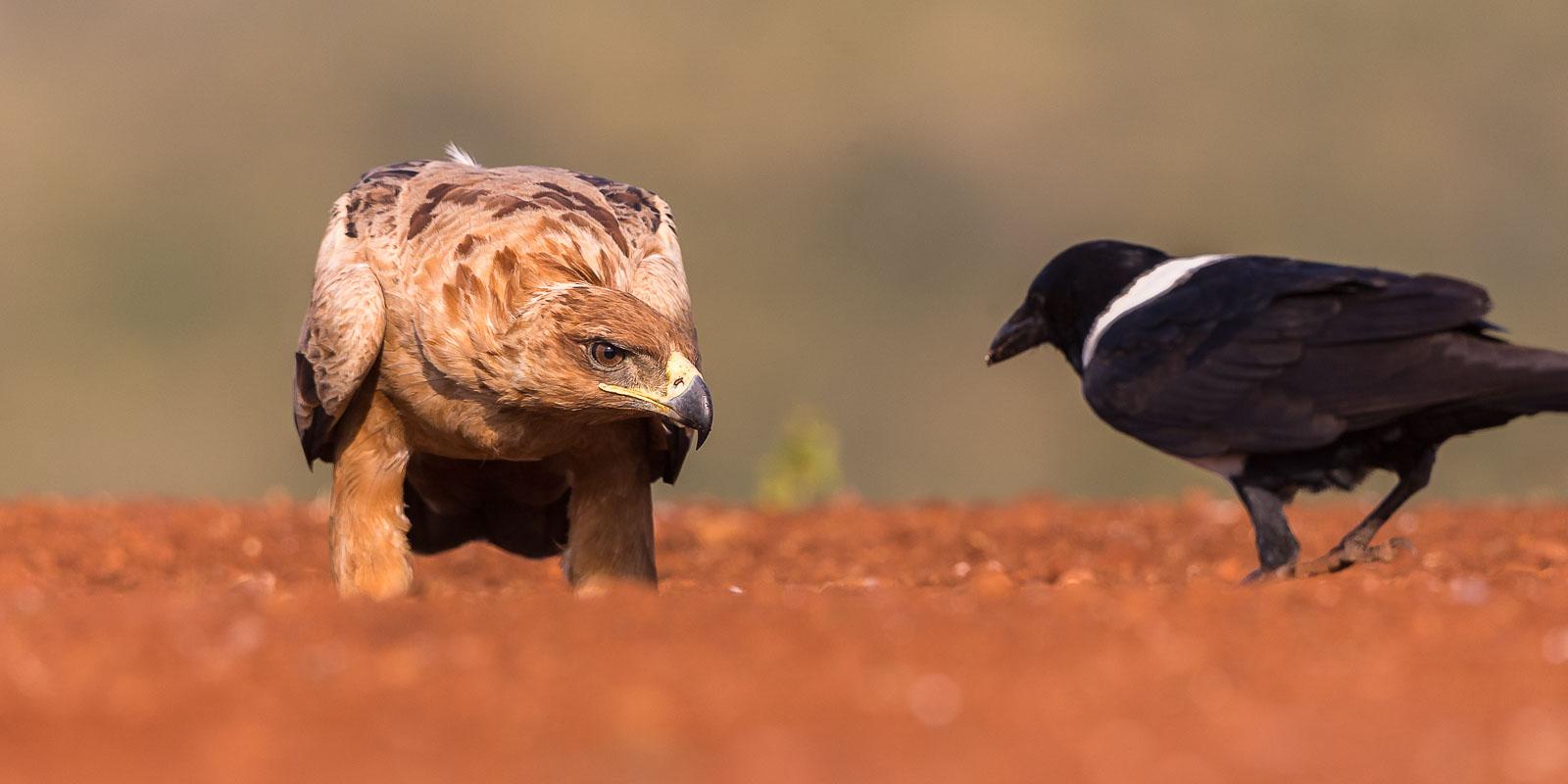Svannörn och kråka