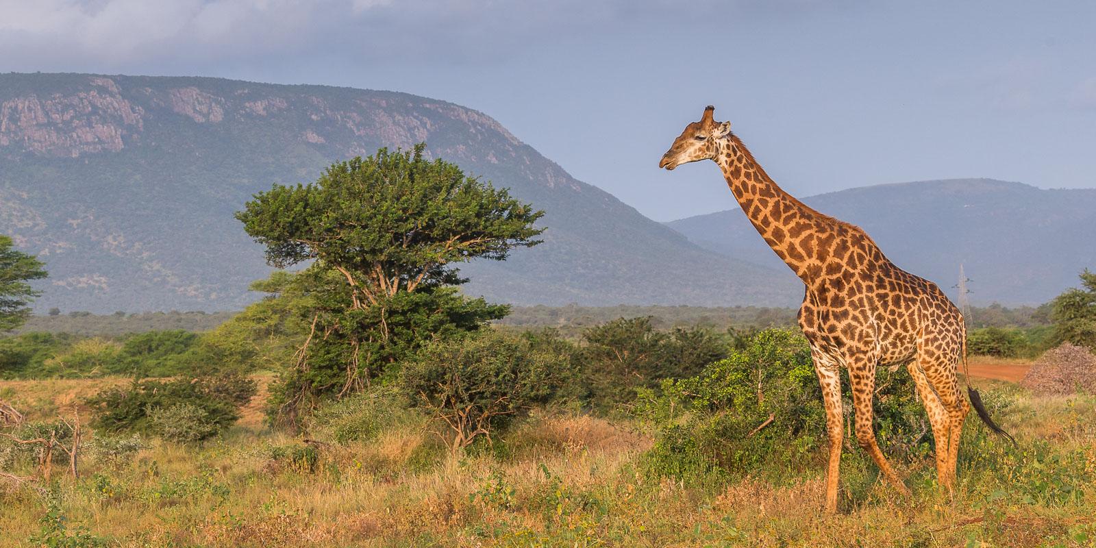Giraff på savannen
