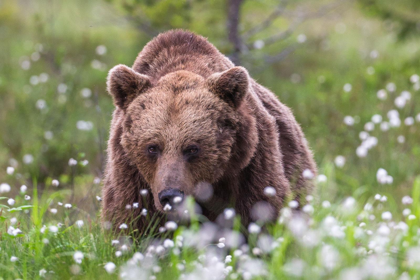 Blyg björn