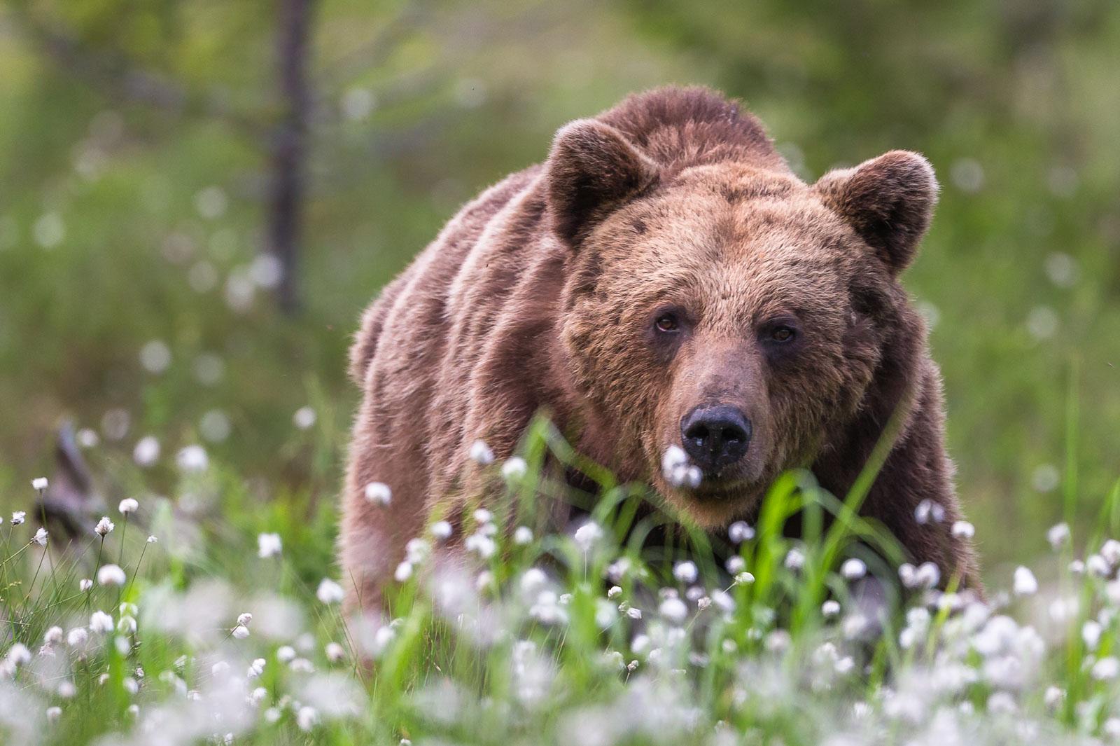Björn i sommaräng