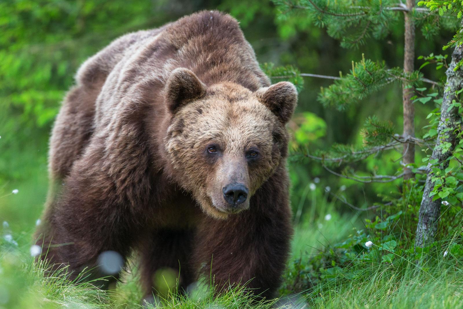 Bamsebjörn