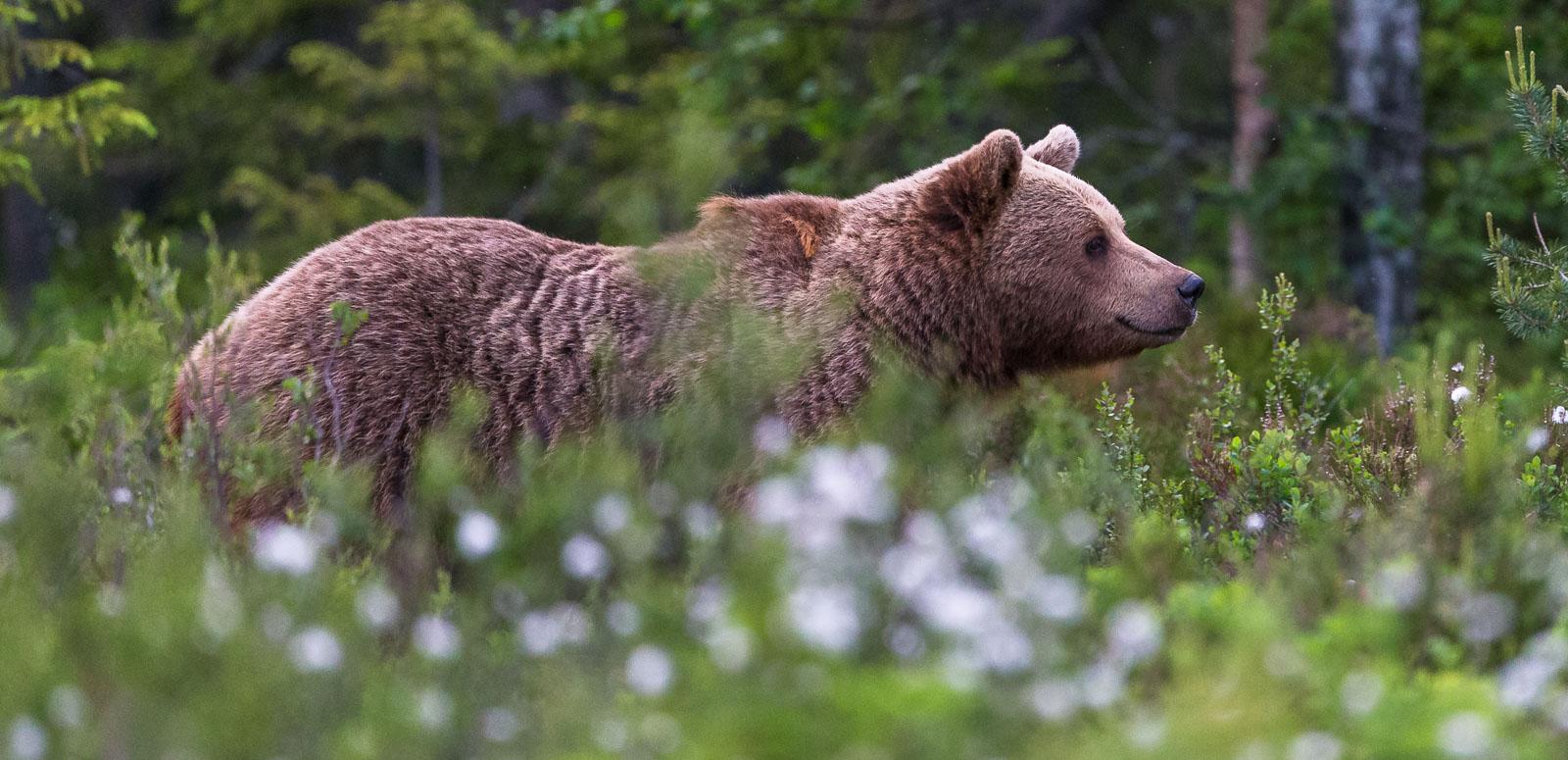 Björn i helprofil