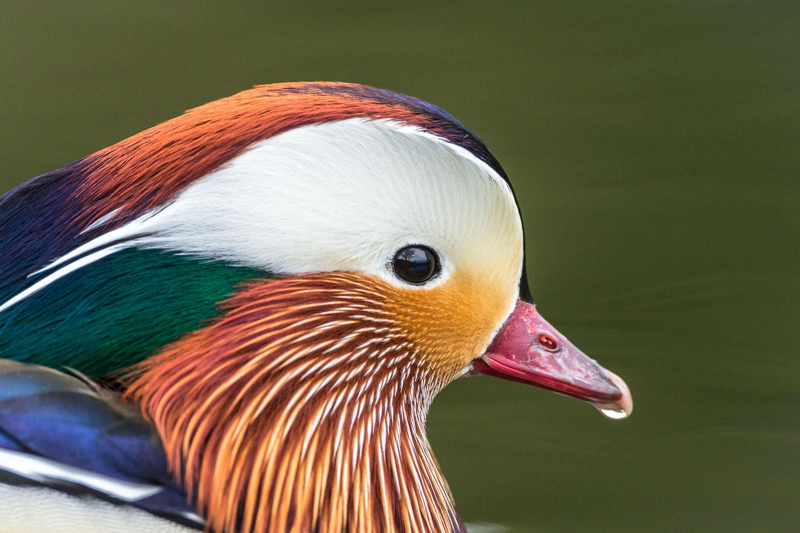 Mandarinand i profil