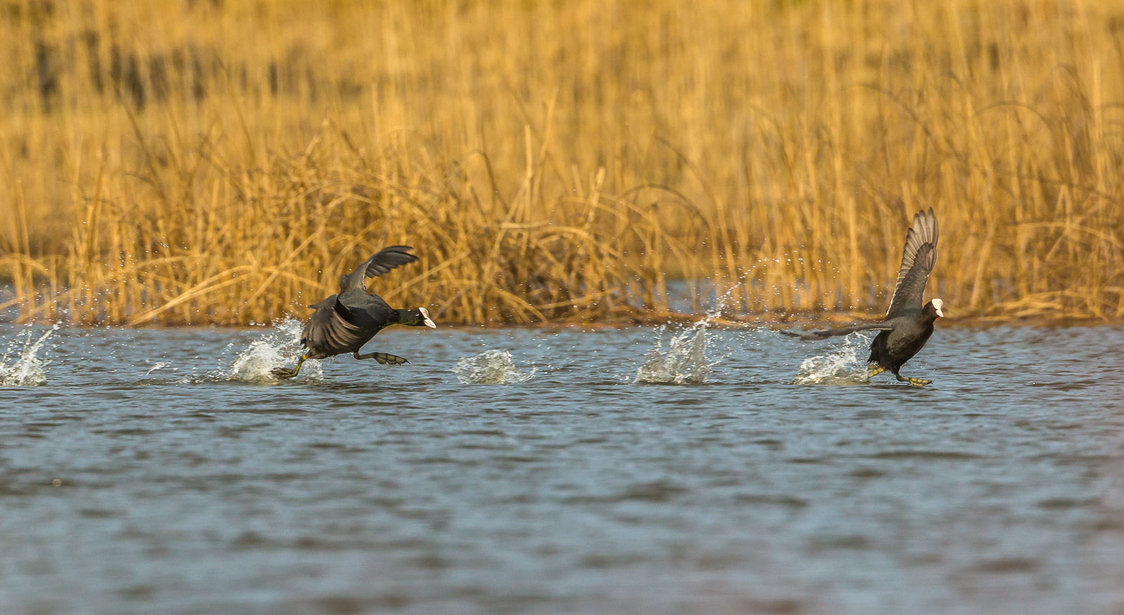 Sothöna jagar rival över vattnet