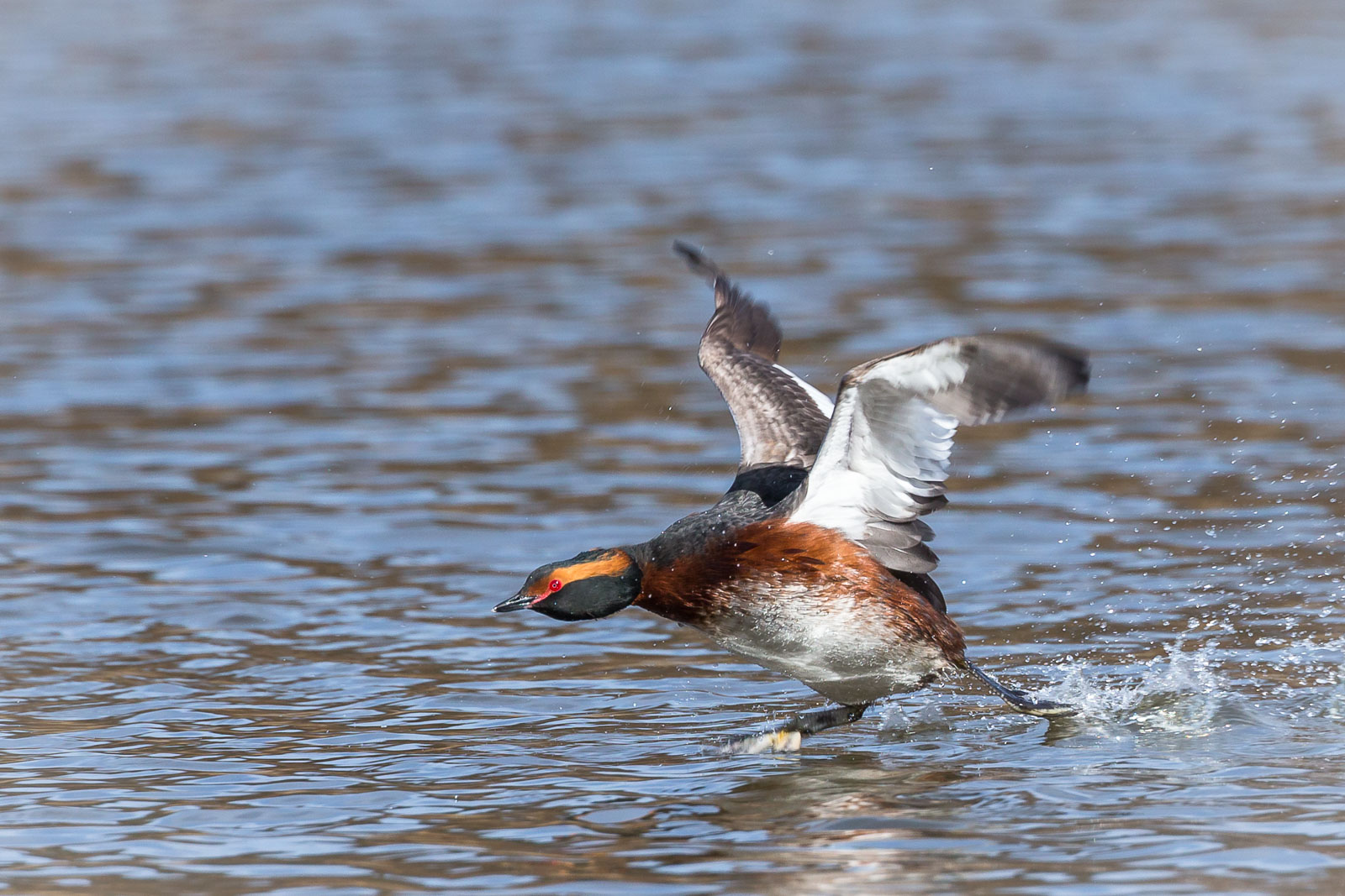 Svarthakedopping springer på vattnet