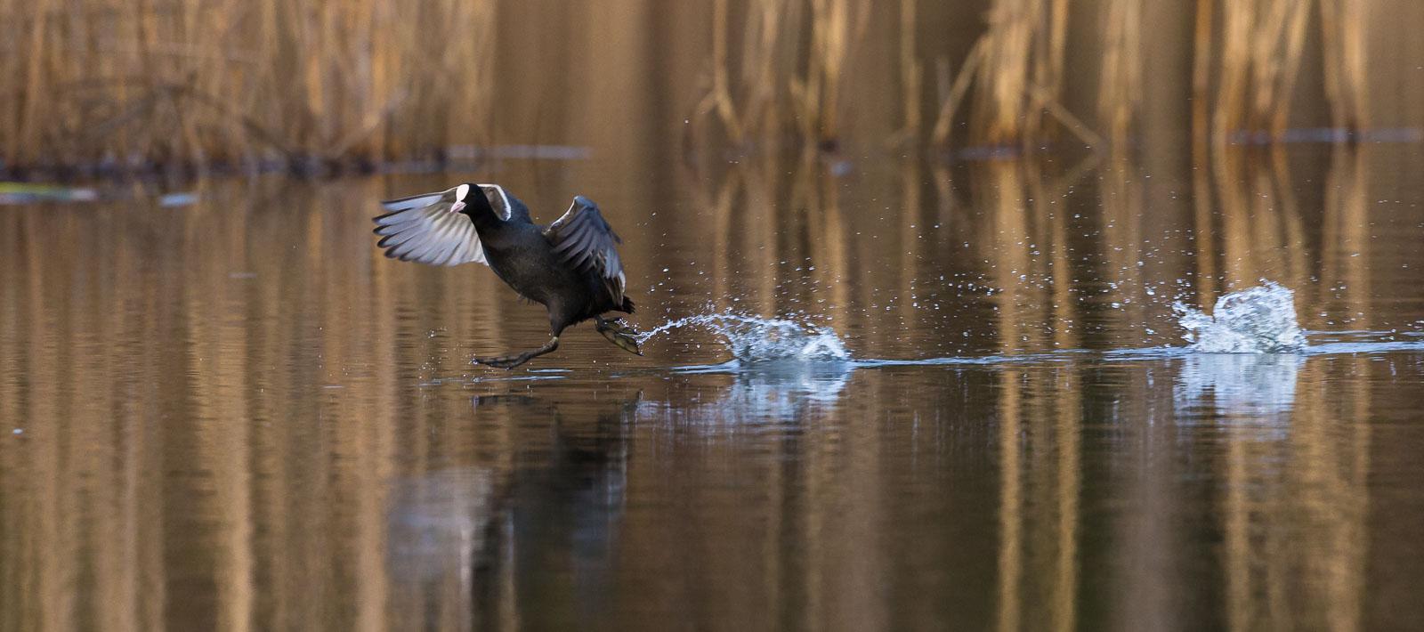 Sothöna springer på vattnet